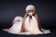 Shih Tzu Dog Portrait At Studio