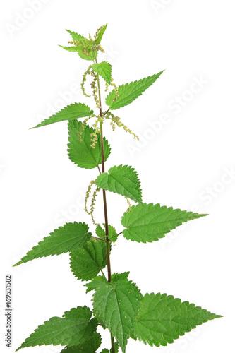 Große Brennnessel (Urtica dioica) blühende Pflanze isoliert vor weißem Hintergrund