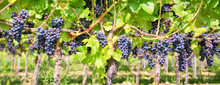 Close Up On Red Black Grapes I...