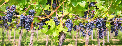 Spoed Foto op Canvas Wijngaard Close up on red black grapes in a vineyard, panoramic background, grape harvest concept