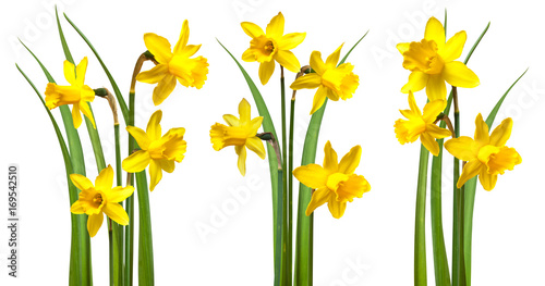 Daffodils isolated on white Poster Mural XXL