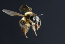 A Bee Flying Isolated On Black...