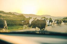 Cows On The Road On Sunset