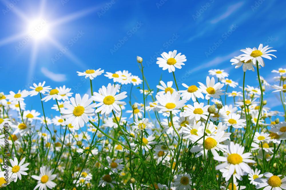 Fototapety, obrazy: chamomile and sun