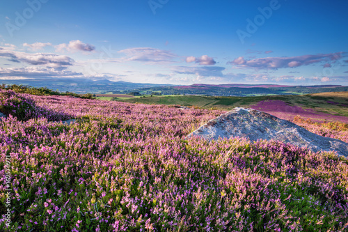 Keuken foto achterwand Heuvel Carpet of Heather on Simonside Hills, popular with walkers and hikers they are covered with heather in summer, and are part of Northumberland National Park overlooking the Cheviot Hills