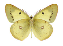 Butterfly Colias Philodice (ma...