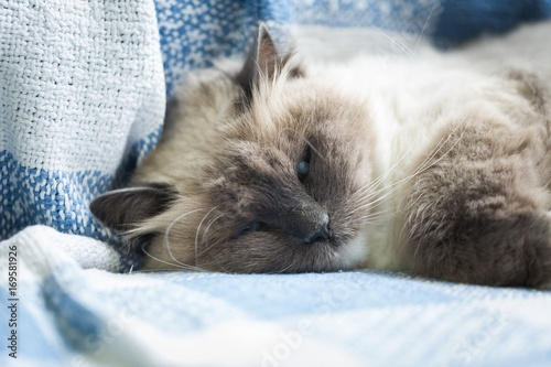 Fotografie, Obraz  Beautiful Neva Masquerade cat portrait