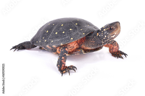 Poster Tortue Spotted turtle, Clemmys guttata
