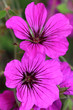 canvas print picture - Geranium psilostemon are available in various colors