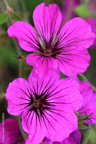 Geranium psilostemon are available in various colors