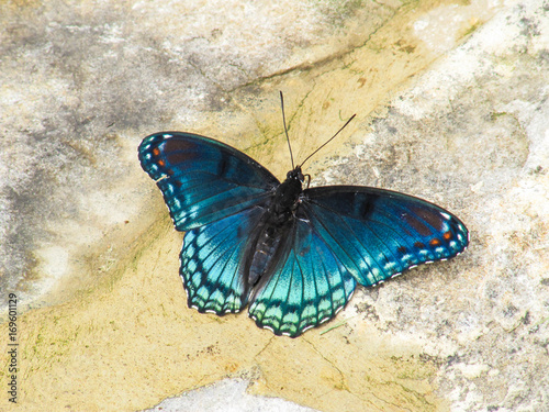Foto op Plexiglas Stenen in het Zand Closeup of white admiral or red-spotted purple blue butterfly, or limenitis arthemis