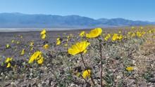 Field Of Yellow Desert Wildflo...