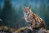 Fototapeta Zwierzęta - Eurasian lynx, snow, winter