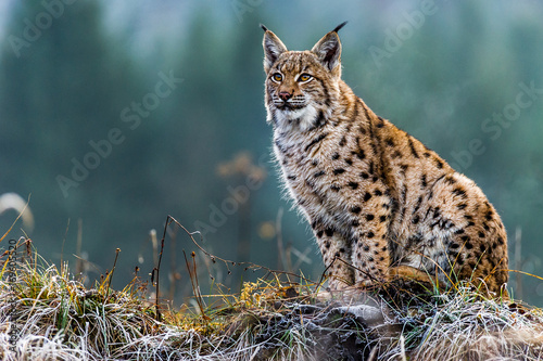 Canvas Print Eurasian lynx, winter, snow