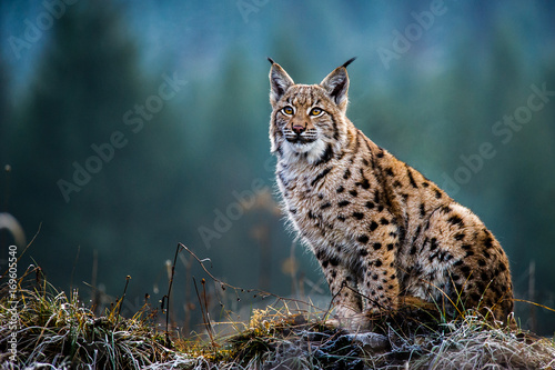 Spoed Foto op Canvas Lynx Eurasian lynx, snow, winter