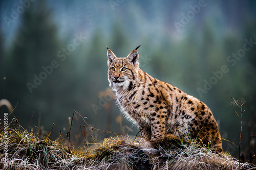 Eurasian lynx, winter