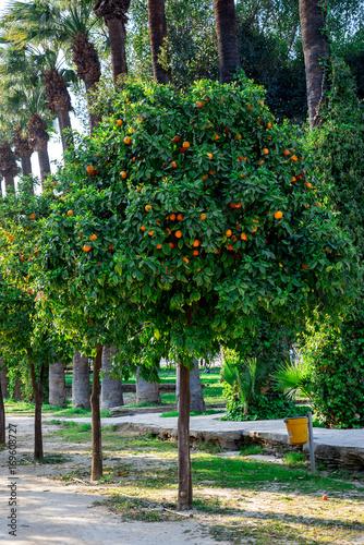 Foto op Plexiglas Cyprus Orange trees in a park alley at Nicosia city
