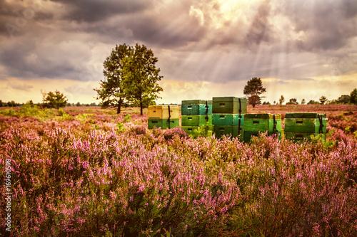 Fotografie, Obraz Beehives, Lüneburg Heath, Germany