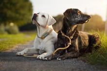 Zwei Junge Hübsche Hunde Mit Halsband Und Leine Liegen Nebeneinander Auf Einem Weg Bei Sonnenuntergang