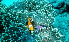 Clown Fish In Reef
