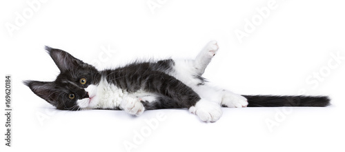 Black and white smoke Maine Coon cat kitten lying isolated on white