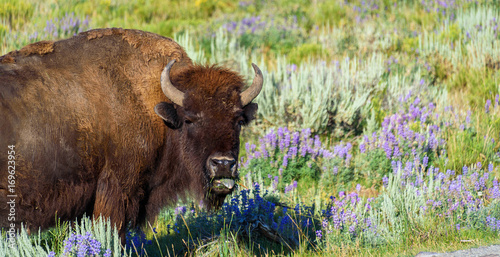 Foto op Canvas Bison Bison sticking out his tongue in a beautiful flower field in Yellowstone National Park