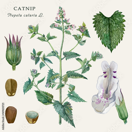Botanical illustration of the culinary and healing plant Catnip (Nepeta cataria L.) Watercolor illustration. Wall mural