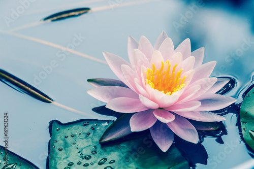 Foto op Aluminium Waterlelies waterlily blooming in the pond,beautiful natural plant