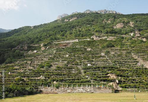 vineyard grapevine plantation in Aosta Valley Canvas Print