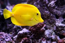 Yellow Tang Fish, Zebrasoma Fl...