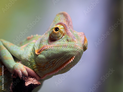 Portrait of a chameleon. Green background, wildlife