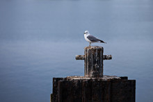 A Lone Sea Gull In The Early M...
