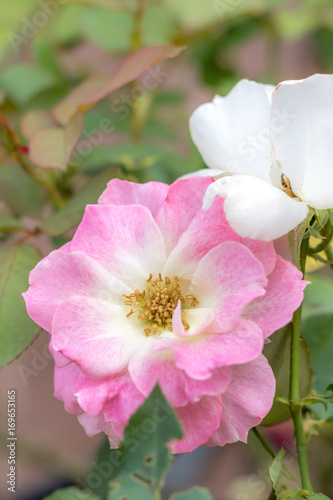 Photo  Matilda; Floribunda Rose, Pink Rose Made by Meilland in France, 1988