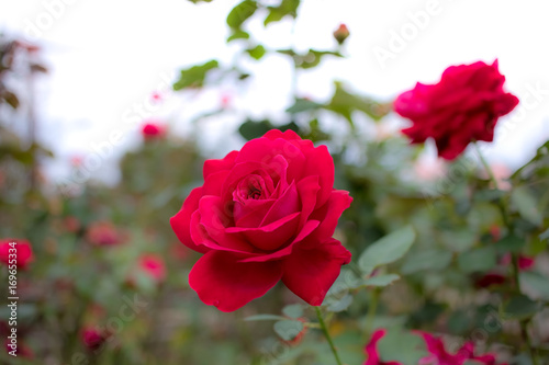Fotografia  Arianna; Hybrid Tea Rose, Red Rose Made by Meilland in France, 1968