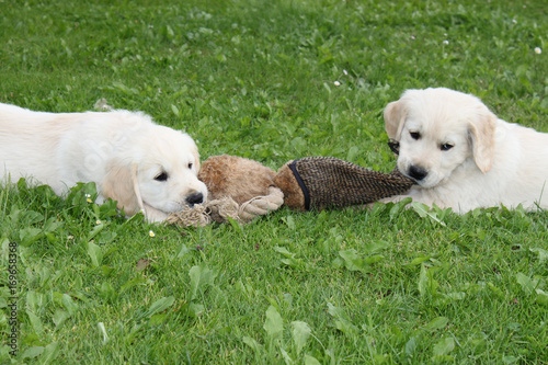 Golden Retriever Welpen Spielen Tauziehen Buy This Stock Photo And