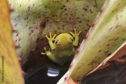 Photo Perereca-das-bromélias (Phyllodytes luteolus) | Yellow heart-tongued frog