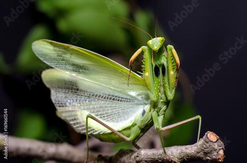 Fotografie, Obraz  Mantis in Defensive Stance