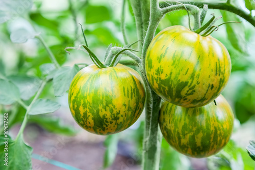 Poster Zebra Green tomatoes growing on branch