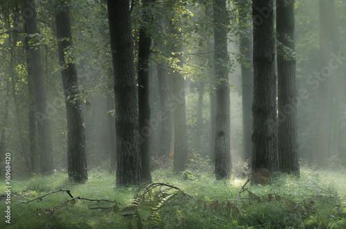 Fototapeten Wald Ranek w lesie