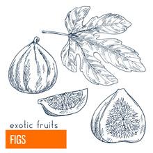 Figs. Hand Drawn Vector Illust...