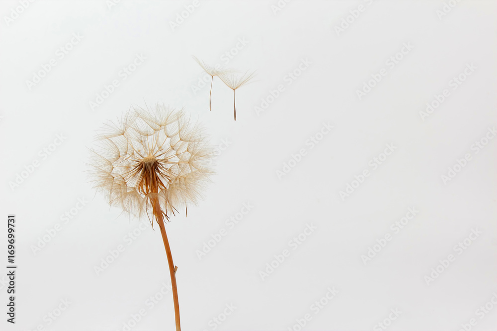Fototapety, obrazy: dandelion and its flying seeds on a white background