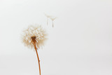 Fototapeta Dmuchawce - dandelion and its flying seeds on a white background