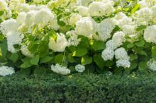 Blooming White Hydrangea