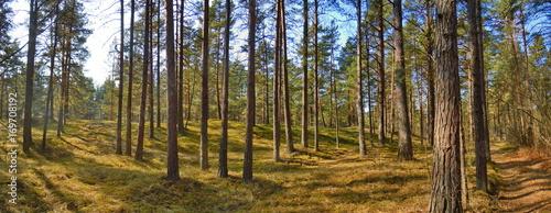 Fotografia, Obraz  Pine forest
