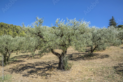 Tuinposter Olijfboom olive trees grow in the provence near Nyons