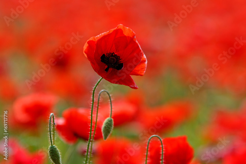 Cadres-photo bureau Rouge Poppy field near Uzhgorod, Transcarpathia, Ukraine
