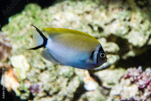 Masked Swallowtail Angelfish as known as True Japanese Swallowtail Angelfish (Ge Canvas Print