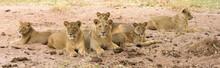 Löwenfamilie Im Sand Ausruhen...