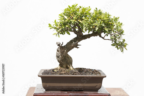 Photo Stands Bonsai Common box (buxus sempervirens) bonsai on a wooden table and white background