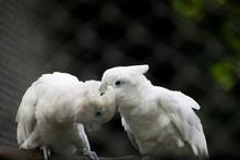 White Cockatoo Pair Sitting
